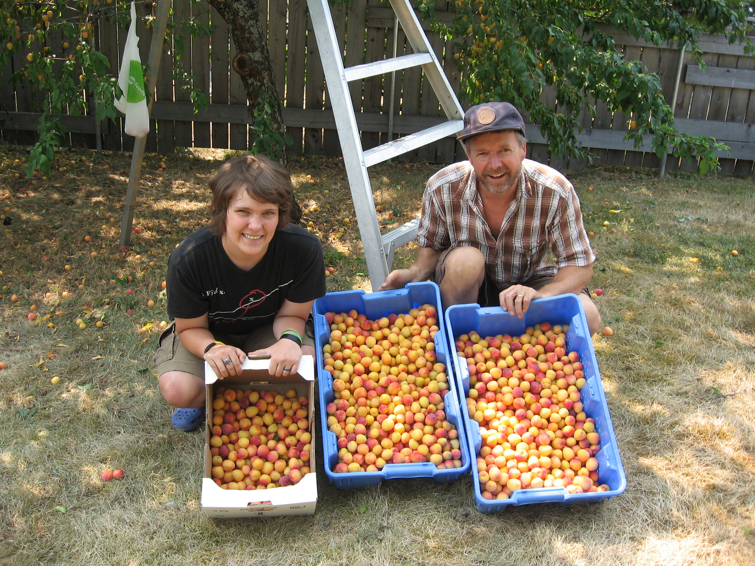 harvested plums